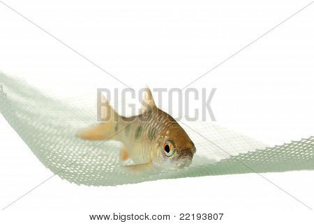 Fish in the Net - Puntius sealei