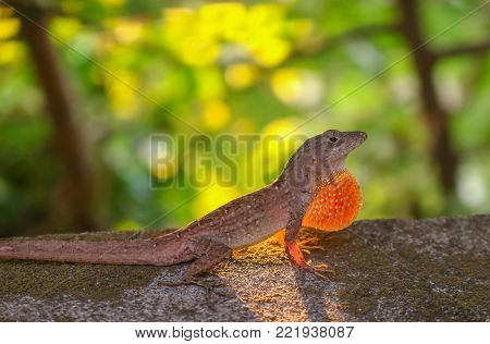 Anole Lizard in Profile in Defensive Stance with Sunlight Behind