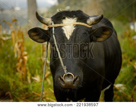 A singular cow looks on as they stand in the middle of an Ecuadorian field