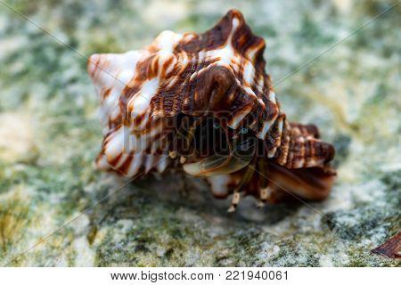 Close-up of hermit crab Calcinus laevimanus on reef during low tide