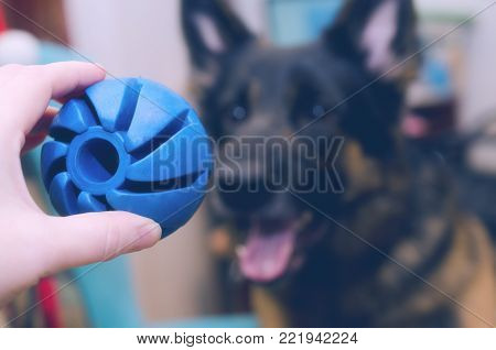 Hand holding a toy ball in the foreground and blurred silhouette of a happy German shepherd dog ready to play in the background (selective focus on the ball)