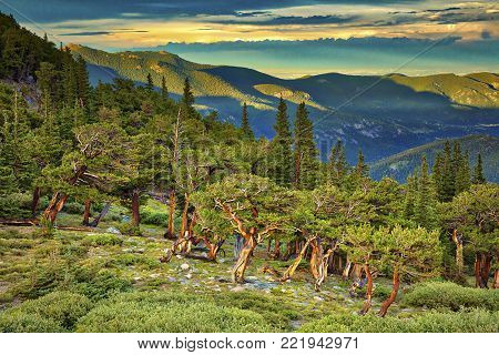 Bristlecone trees catching day's last rays, Mt. Evans, Colorado.