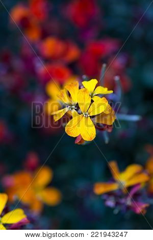 Close-up yellow wallflower on dark background. Spring outdoor blossom.