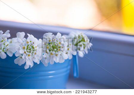 Beautiful little bouquet of white Iberis in small blue bucket near window. Spring composition in daylight.