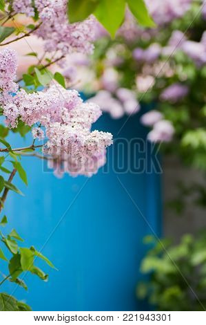 Beautiful blooming lilac branches in garden with blue door on background. Vibrant spring outdoor blossom.