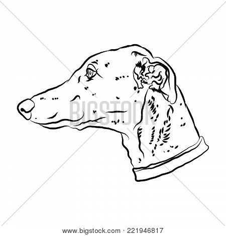 Charismatic greyhound. Portrait of dog silhouette. Vector illustration.