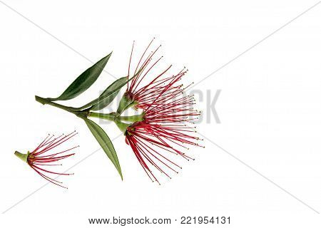 red Metrosideros excelsa flowers isolated on white background with copy space