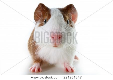 Dutch guinea pig on studio white background. Isolated white pet photo. Sheltie peruvian pigs with symmetric pattern. Domestic guinea pig Cavia porcellus or cavy, is a species of rodent belonging to the family Caviidae and the genus Cavia.