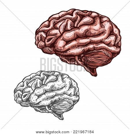 Brain sketch icons of human organ. Vector isolated brain cerebellum vital organ of nervous system and cerebral cortex for medical design or surgery and body medicine symbols
