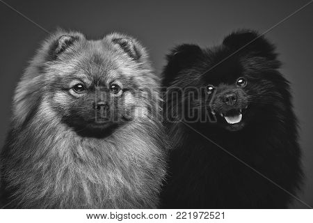 two beautiful spitz dogs on grey background. happy faces. Studio shot on dark background.