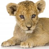 Lion Cub (3 months) in front of a white background. poster