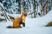 Single weasel sitting at snow field, mustela nivalis poster