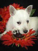 West Highland Terrier Puppy Resting her head on an orange flower poster