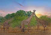 Herd of Thornicroft giraffe standing in the bush with a sunset cloudscape in South Luangwa National Park, Zambia, Southern Africa poster
