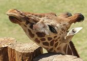A Giraffe Lifts its Head to Peer Over a Log Fence poster