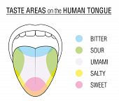 Human tongue with five taste areas - bitter, sour, sweet, salty and umami perception - colored division with zones of different taste buds - educational, schematic vector on white background. poster