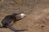 A Smooth Coated Otter rolling in the mud on a river bank poster