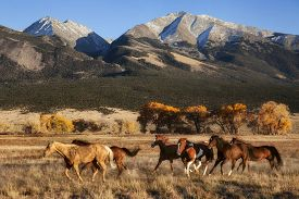A group of horses running in a meadow in fall with a mountain backdrop at the Nature Conservancy Zapata Ranch in Colorado.