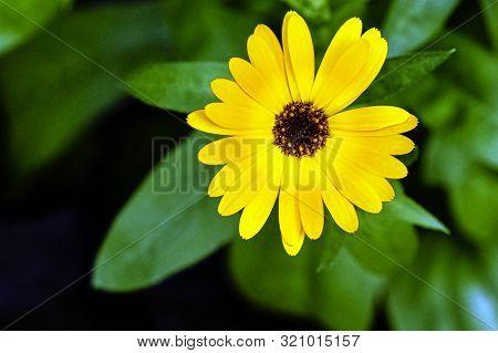 Dimorphotheca Ecklonis Or Osteospermum, Also Known As Cape Marguerite, Van Stadens Or Sundays River