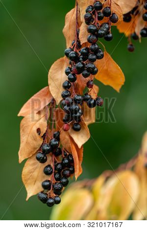Close Up Of Parched Black Berries And Yellow Leaves Of A Prunus Serotina Black Cherry Tree In Lack O