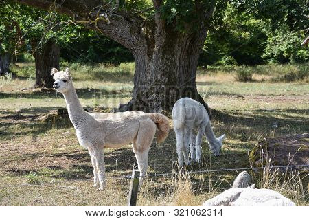 White Alpacas In A Pastureland With Big Trees At The Island Oland In Sweden