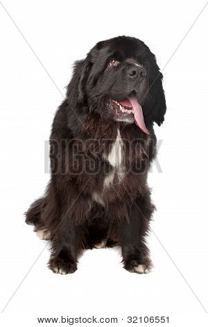 Newfoundland dog in front of a white background poster
