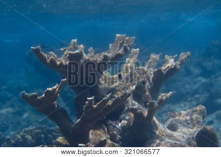 Critically Endangered Elkhorn Coral On Coral Reef Off Bonaire, Dutch Caribbean