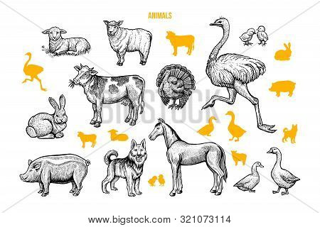 Domestic Animals Hand Drawn Illustrations Set. Poultry And Cattle Engraved Drawings And Silhouettes