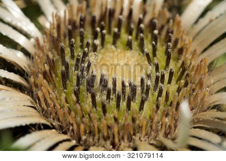 Carlina Acaulis (carlina Acaulis L.) Is A Perennial Herb Of The Family Asteraceae. In 1997 It Became