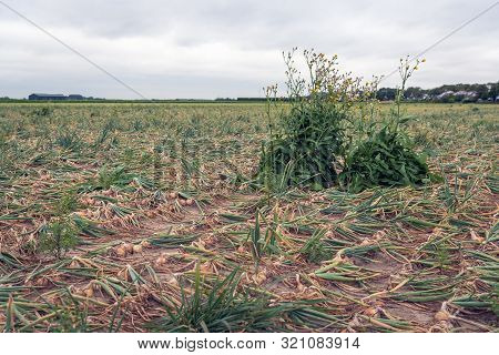 Landscape With Organically Grown Onions With Kinked Leaves In Rows Drying On The Field Awaiting Mach