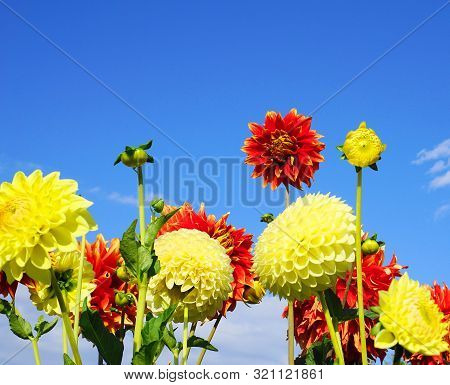 Showy And Bright Colorful Dahlia Flowers On Blue Sky Background Close Up.