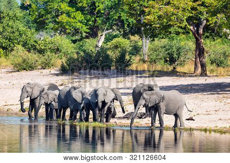 Herd Of African Elephant With Small Babies, Loxodonta On Waterhole In Bwabwata, Caprivi Strip Game P