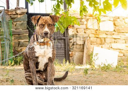 Portrait Of A Pitbull Boxer Mix Enjoying Sunny Day In The Garden.