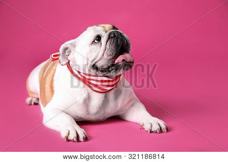 Adorable Funny English Bulldog With Ribbon On Pink Background