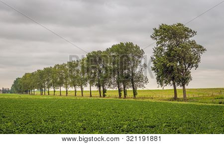 Dutch Field With Endive Cultivation In The Foreground And An Embankment With A Row Of Trees In The B