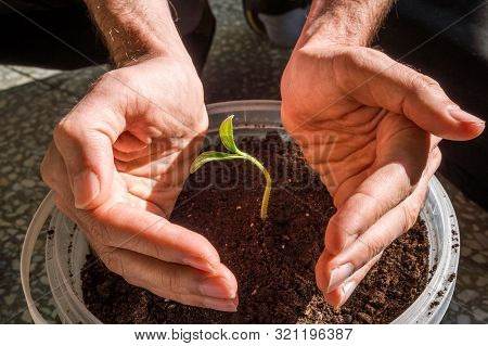 Close Up Of Male Hands Protecting Young Pumpkin Seedling Growing In A Pot In A Balcony. New Life And