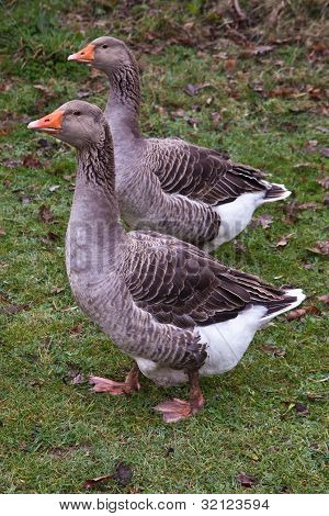 Toulouse geese, Hampshire, England.