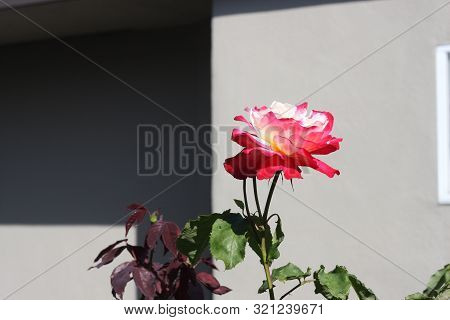 This Is A Rose Growing In A Sunny Outdoor Garden.