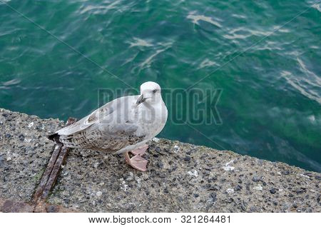 Pearched Seagul By The Sea, Nature Photography, Larus Argentatus