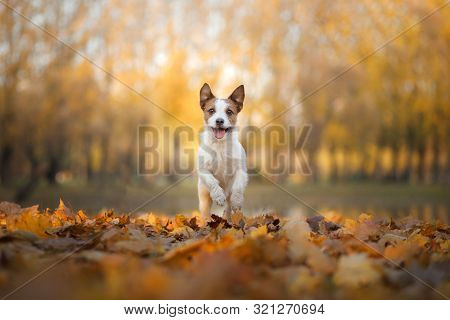 Dog In The Autumn In The Park. Happy Jack Russell Terrier In Colored Leaves On Natur