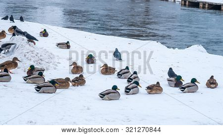 Wild Ducks And Pigeons By Neris River In Vilnius. Winter Time In Lietuva.