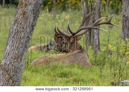 Strong Ekl, Wapiti (cervus Canadensis) On The Grass During Rut.