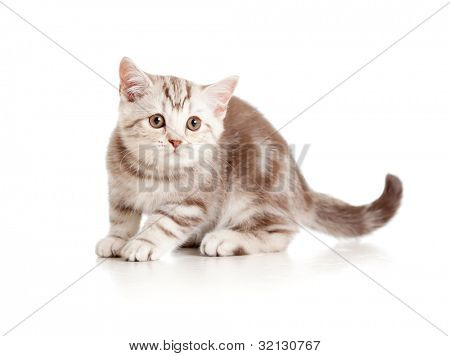 A playful kitten. British breed. Marmor.