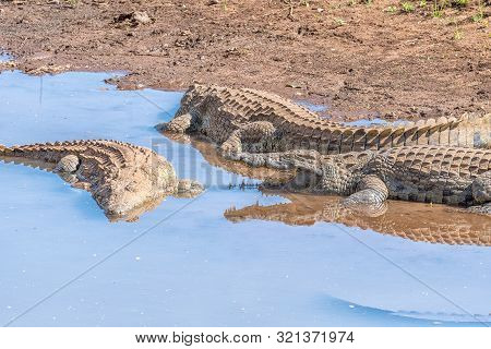 Three Nile Crocodiles, Crocodylus Niloticus, In The Levuvhu River
