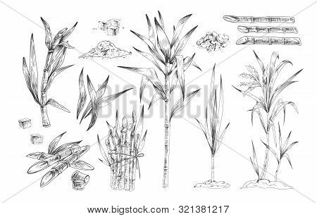 Sugar Canes Hand Drawn Vector Illustrations Set. Sugarcane Trees, Growing Plant Branches Engravings