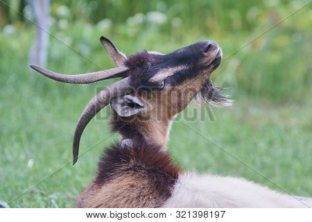 Portrait Of Black Adult Goat Grassing On Summer Meadow Field At Village Countryside