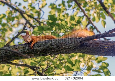 Red Squirrel On A Tree Branch Looks Into The Frame. Animals In The Wild. Life In The Forest. Beautif