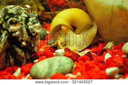 Snail Ampulyarii In The Aquarium, Pomacea Bridgesii.
