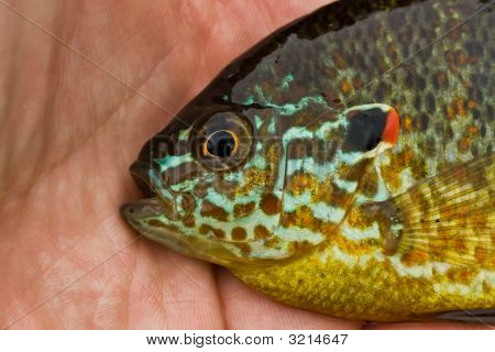 Colorful Pumpkinseed Sunfish in an angler's hand poster