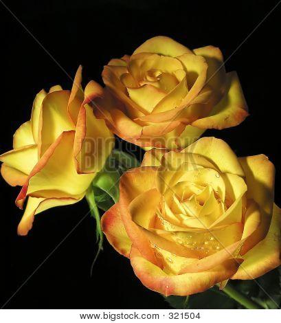 Rose Over Black